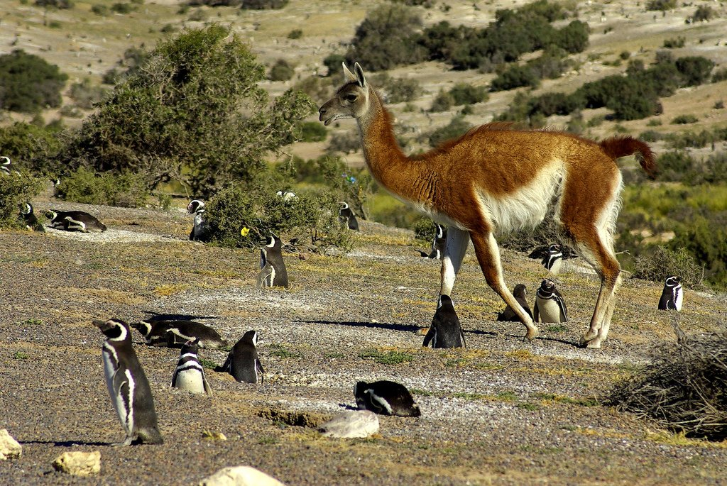 Penguins and Guanaco in Punta Tombo by Christian Jiménez (CC)